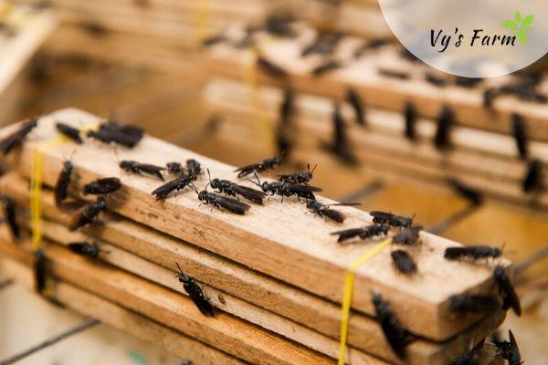 khay đẻ trứng của ruồi lính đen